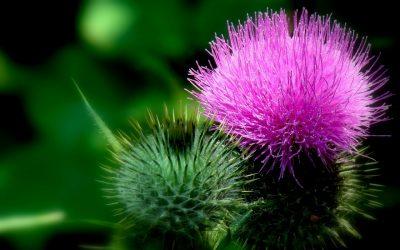 Silimarina – 5 beneficii pentru organism